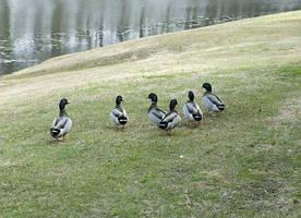 Duck Launch