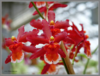 Red orchids for Morwen by Mogrianne