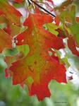Oak colors