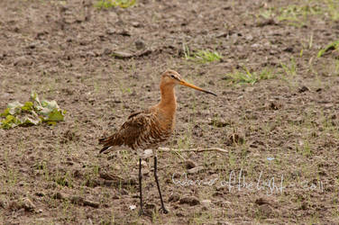 Black-tailed Godwit 2 by WotL