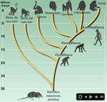 Primates evolution.