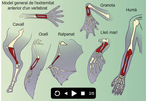 Forelimb bones homology by AmadeuBlasco