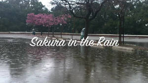 Sakura in the Rain Video