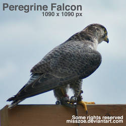 Peregrine Falcon 6