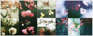 The plum blossomx70p