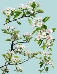 Pear blossoms png