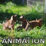 Playing Siberian Lynxs Cubs