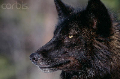 Shop of Amnesia & Manuviart ~  Wolves__Back_in_Black_by_100percentWOLF_LOVER