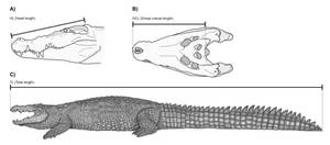 The maximum size of the saltwater crocodile
