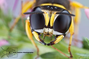 Square-headed Wasp - Ectemnius sp. by ColinHuttonPhoto