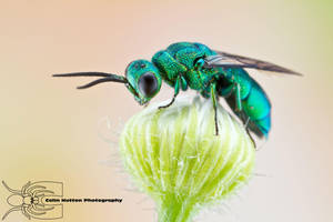 Cuckoo Wasp - Chrysis angolensis by ColinHuttonPhoto