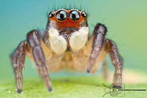 Jumping Spider - Habronattus coecatus by ColinHuttonPhoto