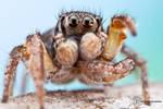 Jumping Spider - Habronattus orbus by ColinHuttonPhoto