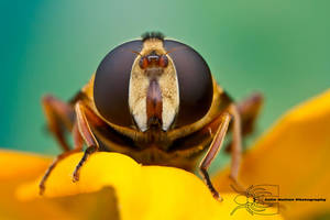 Syrphid Fly by ColinHuttonPhoto
