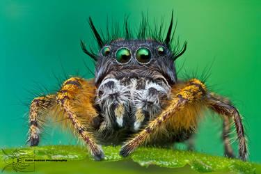 Jumping Spider - Phidippus mystaceus by ColinHuttonPhoto