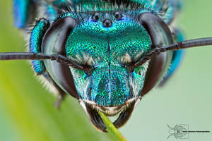 Orchid Bee - Euglossa dilemma by ColinHuttonPhoto