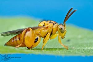 Chalcid Wasp - Conura sp. by ColinHuttonPhoto