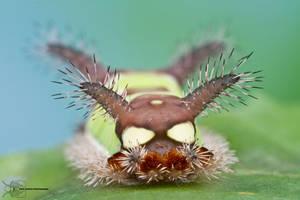 Saddleback Caterpillar - Acharia stimulea by ColinHuttonPhoto