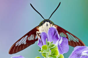 Hummingbird Clearwing - Hemaris thysbe by ColinHuttonPhoto