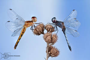 Little Blue Dragonlet - Erythrodiplax minuscula by ColinHuttonPhoto