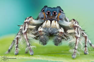 Jumping Spider - Phidippus putnami by ColinHuttonPhoto