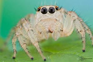 Jumping Spider - Thiodina sylvana by ColinHuttonPhoto