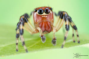 Jumping Spider - Salticidae by ColinHuttonPhoto
