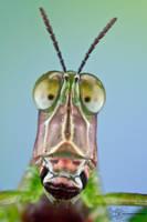 Monkey Grasshopper - Eumastacidae by ColinHuttonPhoto