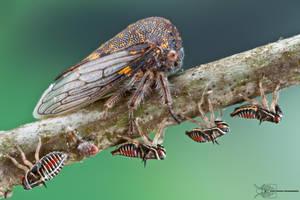 Oak Treehopper - Platycotis vittata by ColinHuttonPhoto