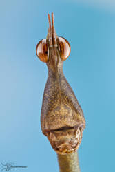 Stick Grasshopper - Proscopidae by ColinHuttonPhoto