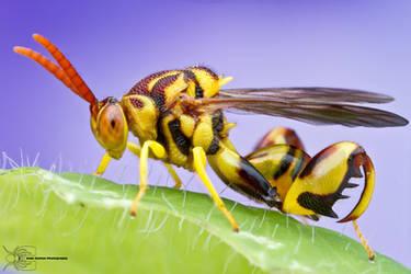 Chalcid Wasp - Conura amoena by ColinHuttonPhoto
