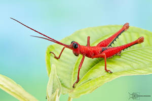 Red grasshopper by ColinHuttonPhoto