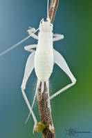 White cricket from Colombia by ColinHuttonPhoto