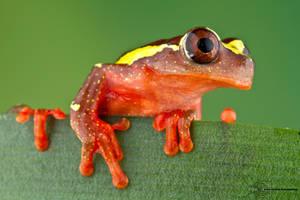 Clown Tree Frog - Dendropsophus leucophyllatus by ColinHuttonPhoto