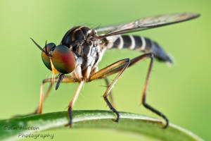 Robber Fly by ColinHuttonPhoto