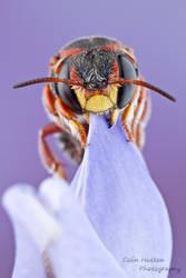 Bee - Anthidiellum perplexum by ColinHuttonPhoto