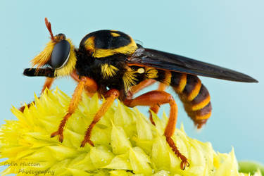Robber fly - Laphria saffrana by ColinHuttonPhoto