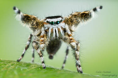 Phidippus tyrelli by ColinHuttonPhoto