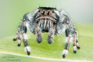 Phidippus vexans by ColinHuttonPhoto