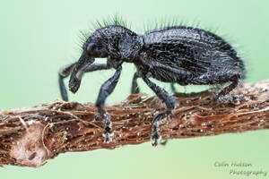 Antlike weevil - Myrmex sp. by ColinHuttonPhoto