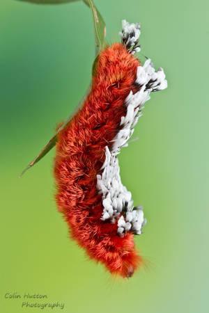 Shag carpet caterpillar - Prothysana felderi by ColinHuttonPhoto