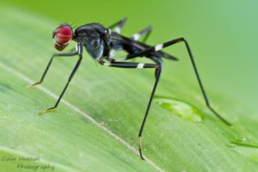 Stilt-legged fly by ColinHuttonPhoto
