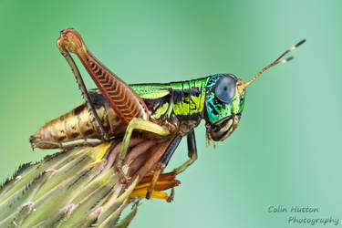Colorful grasshopper by ColinHuttonPhoto