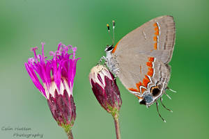 Red-banded Hairstreak - Calycopis cecrops by ColinHuttonPhoto