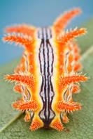 Stinging rose slug caterpillar - Parasa indetermin by ColinHuttonPhoto