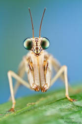 Mantidfly by ColinHuttonPhoto