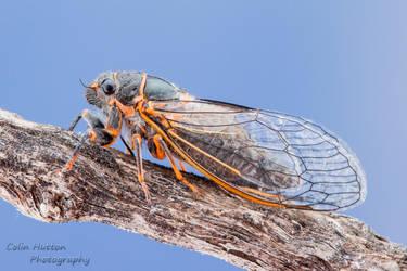 Putnam's Cicada - Platypedia putnami by ColinHuttonPhoto