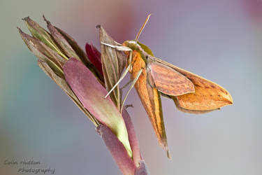 Sphinx moth by ColinHuttonPhoto