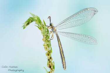 Antlion by ColinHuttonPhoto