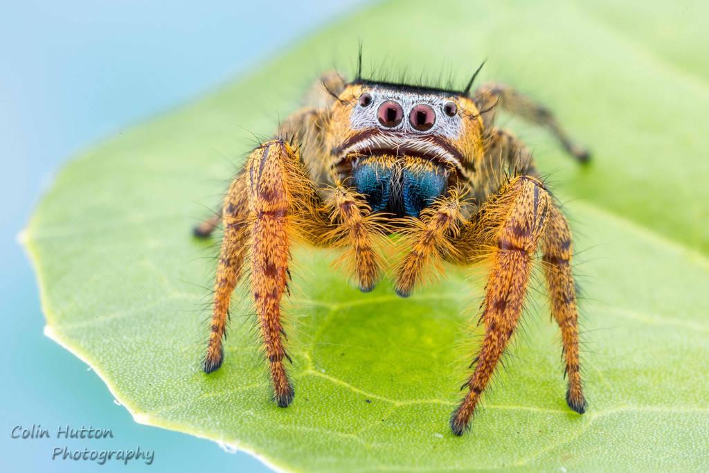 Phidippus arizonensis by ColinHuttonPhoto